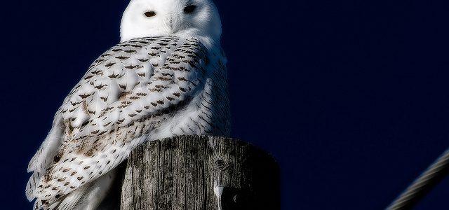 Snowy Owl by Brent Eades