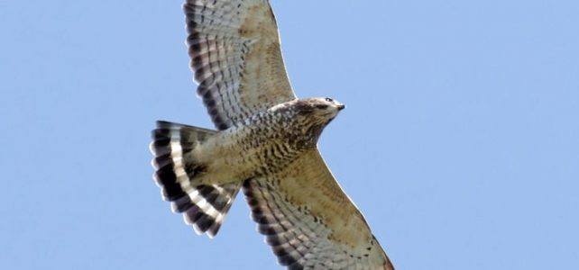 Following the migration of broad-winged hawks