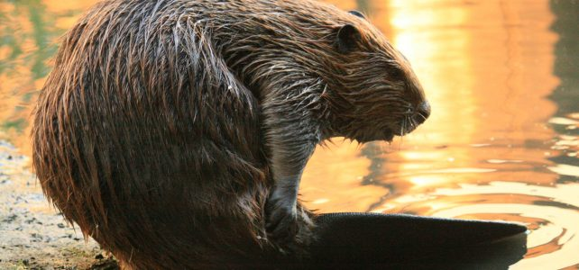 Learn all about beavers August 1