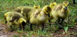 baby chicks from Pixabay
