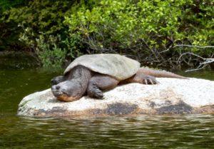 lynne's turtle